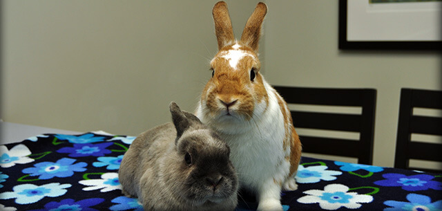 Rabbit Veterinary Care at Kingsbrook Animal Hospital